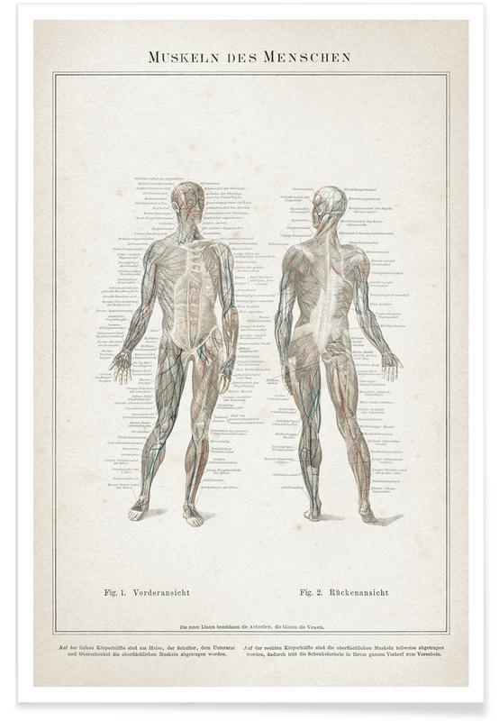 Vintage, Meyers - Muscles de l'être humain affiche