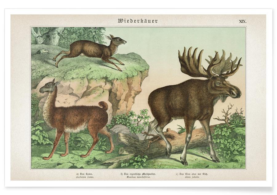 Llamas, Vintage, Schubert 1 Wiederkäuer 19 Poster