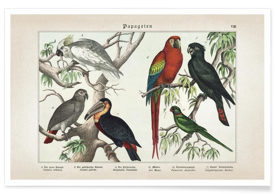 Perroquets, Vintage, Schubert 5 Papageien 8 affiche