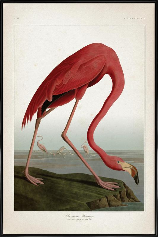 American Flamingo - Audubon affiche encadrée
