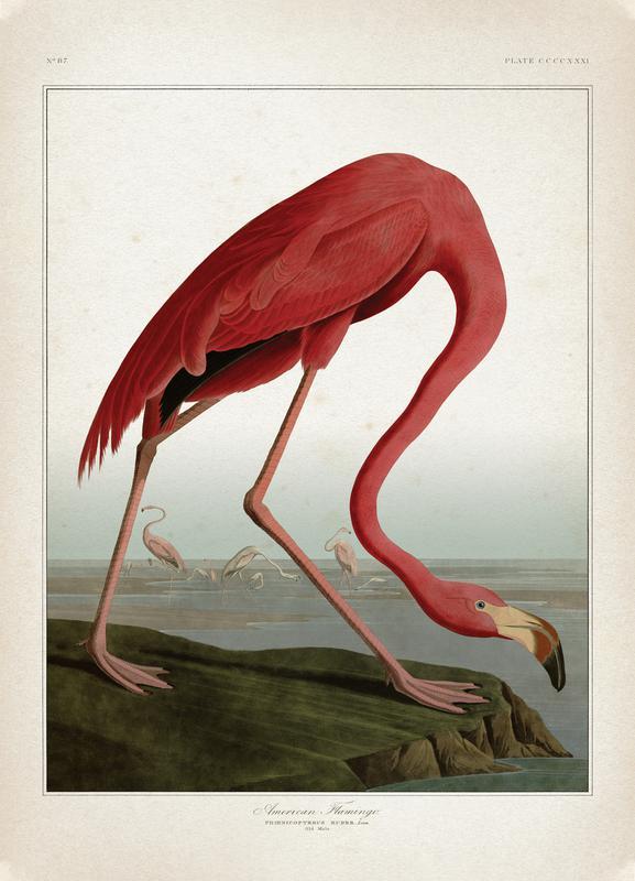 American Flamingo - Audubon canvas doek