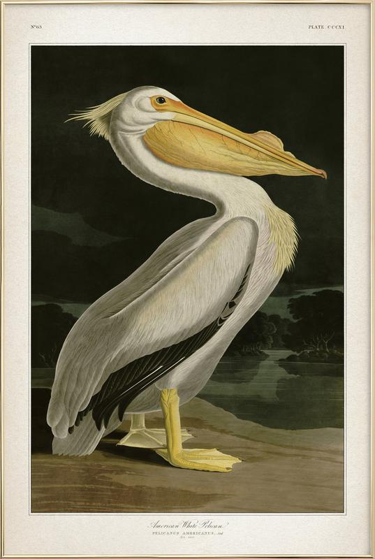 American White Pelican - Audubon Poster in Aluminium Frame