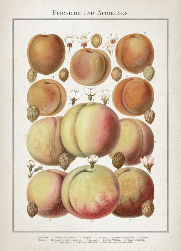 Pfirsiche und Aprikosen - Meyers -Leinwandbild