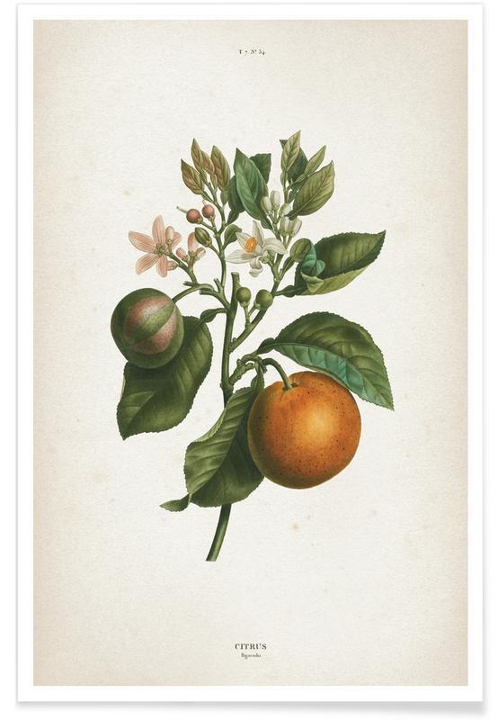 Vintage, Redouté 1 Citrus Bigaradia affiche