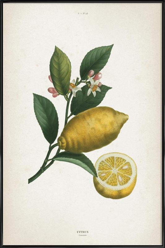Citrus Limonium - Redouté affiche encadrée