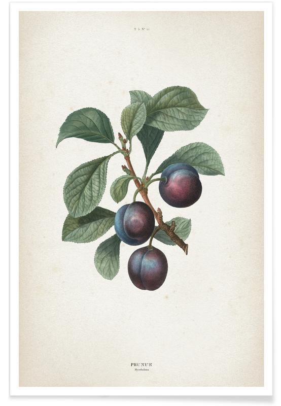 Vintage, Redouté 1 Prunus Myrobalana Poster
