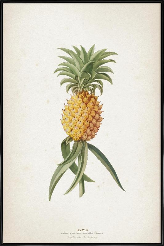 Ananas Aculeatus - Ehret ingelijste poster