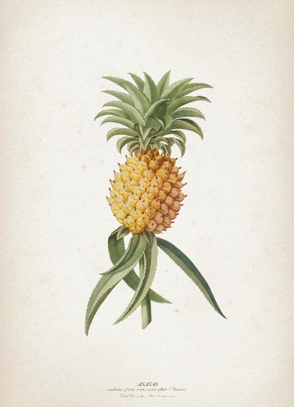 Ananas Aculeatus - Ehret Canvas Print