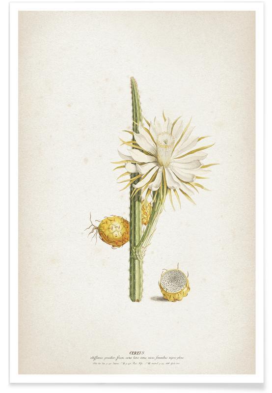 Cacti, Vintage, Ehret 1 Cereus Altissimus Poster