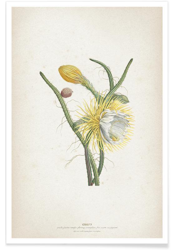 Cereus Gracilis - Ehret affiche