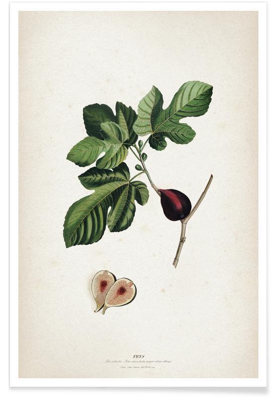 Ficus - Ehret Poster