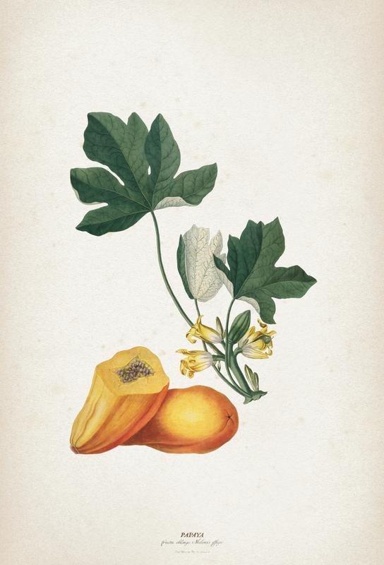 Papaya - Ehret -Acrylglasbild