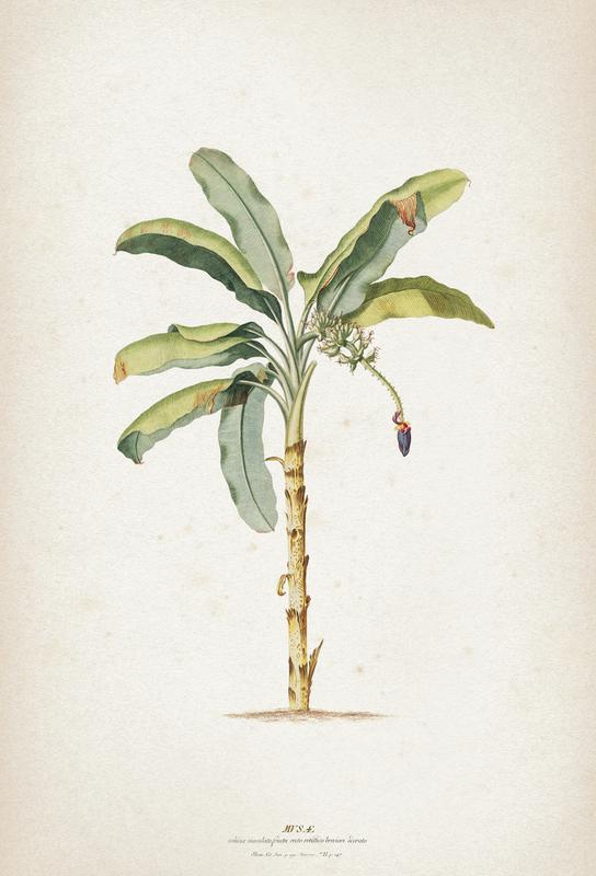 Musae Maculato - Ehret -Alubild