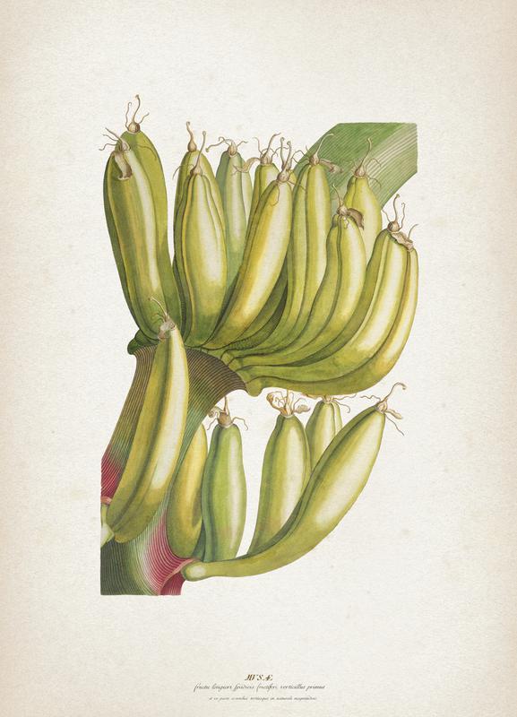 Musae Primus - Ehret Canvas Print