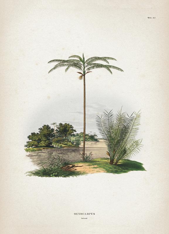 Oenocarpus Bataua - Martius toile