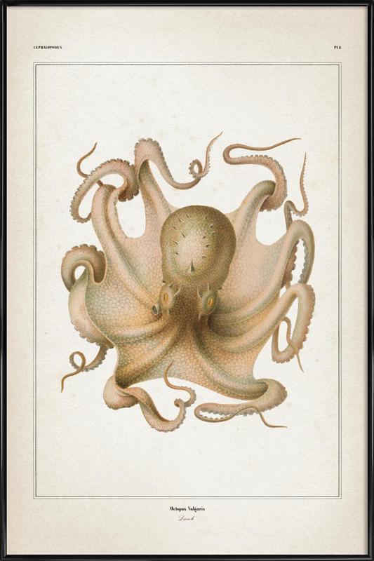 Octopus Vulgaris - Vérany affiche encadrée