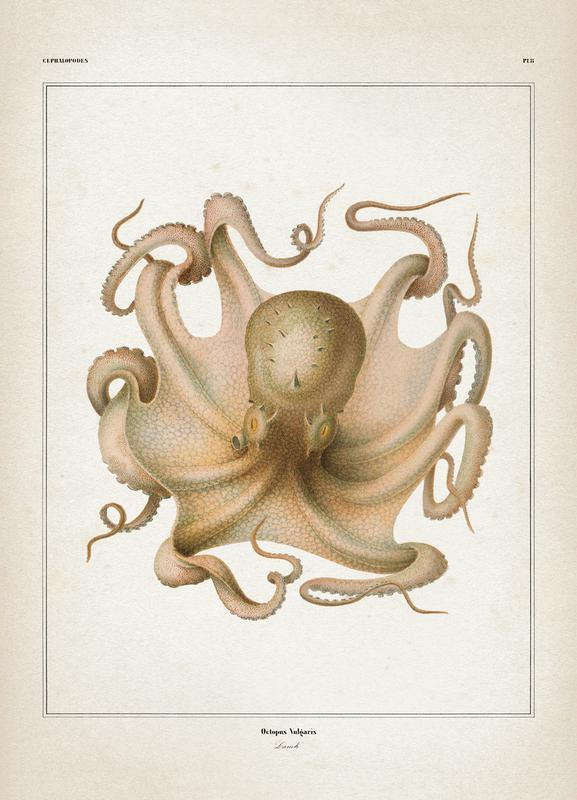 Octopus Vulgaris - Vérany Canvas Print