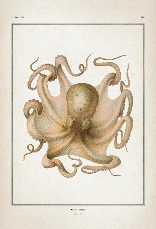 Octopus Vulgaris - Vérany Aluminium Print
