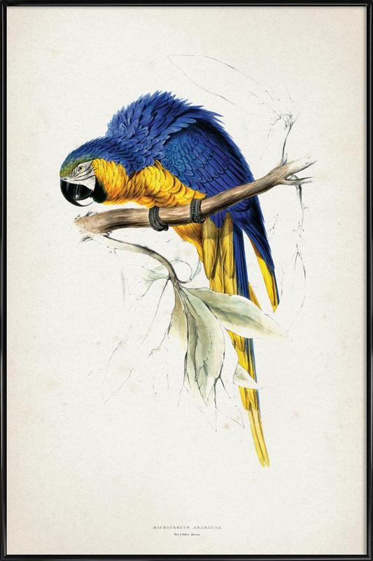 Macrocercus Ararauna - Lear affiche encadrée