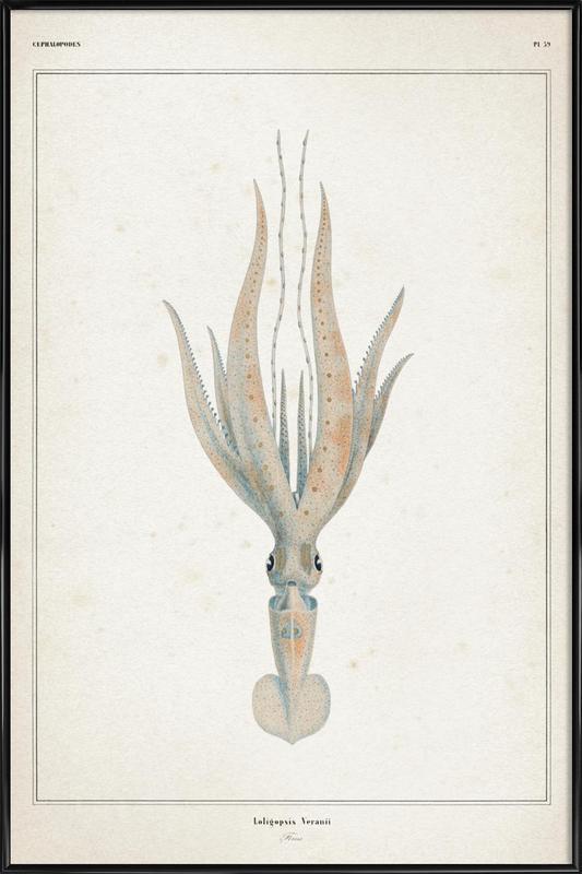 Loligopsis Veranii - Vérany ingelijste poster