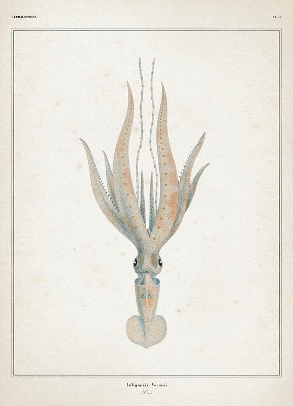 Loligopsis Veranii - Vérany Canvas Print