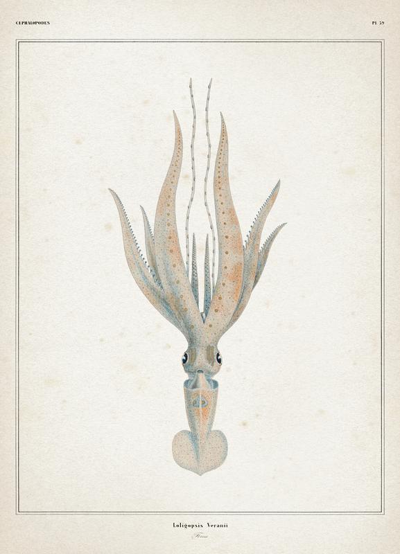 Loligopsis Veranii - Vérany canvas doek