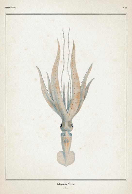 Loligopsis Veranii - Vérany acrylglas print