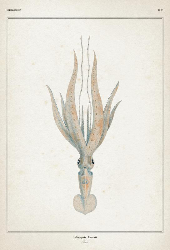 Loligopsis Veranii - Vérany alu dibond