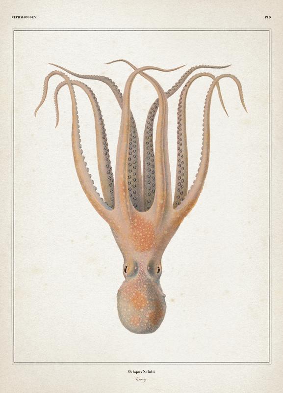 Octopus Salutii - Vérany Canvas Print