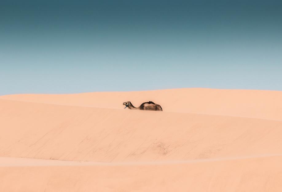 Lone Camel Akrylglastavla