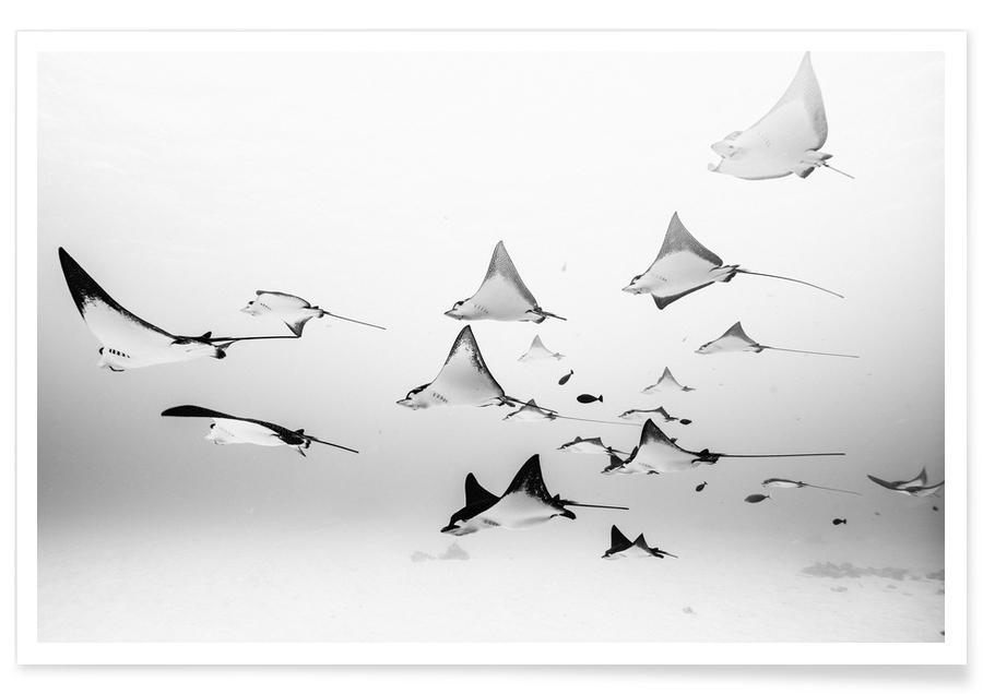 Poissons, Océans, mers & lacs, Noir & blanc, Requins, Rays affiche
