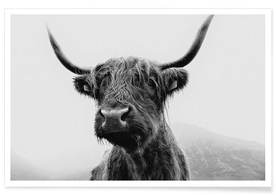 Vaches, The Highland Cow affiche