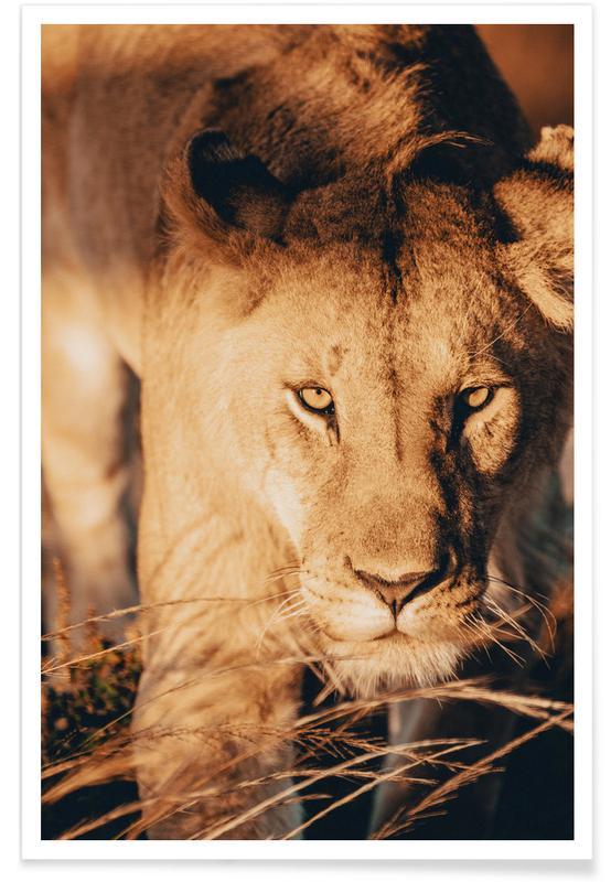 Lions, Safari Animals, Stalking Sunlight Poster
