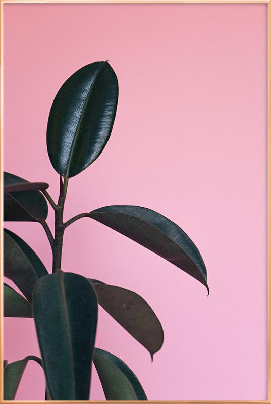 Ficus on Pink by @scottywebb Poster in Aluminium Frame