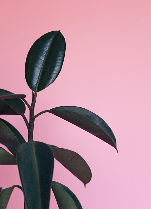 Ficus on Pink by @scottywebb Canvastavla