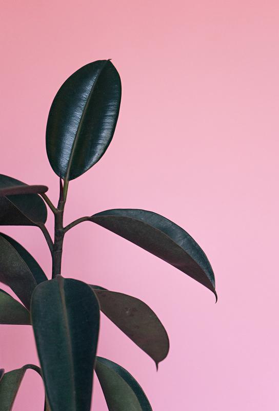 Ficus on Pink by @scottywebb Aluminiumtavla