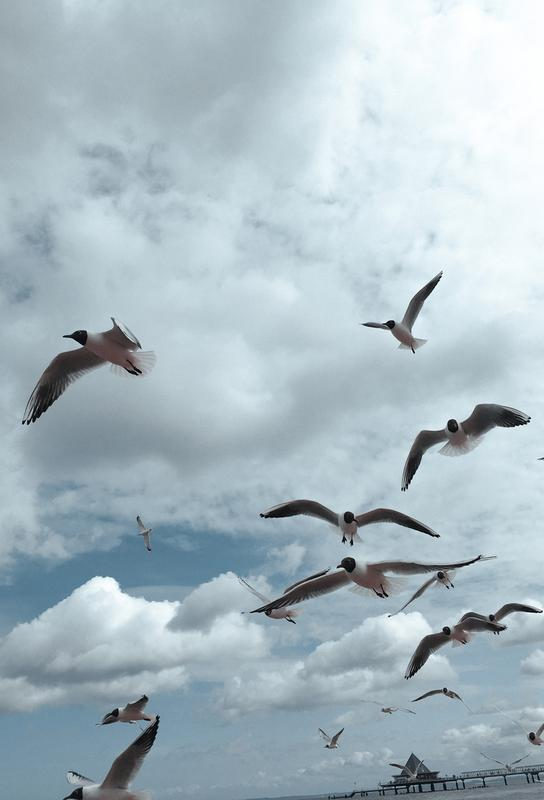 Gulls VII alu dibond