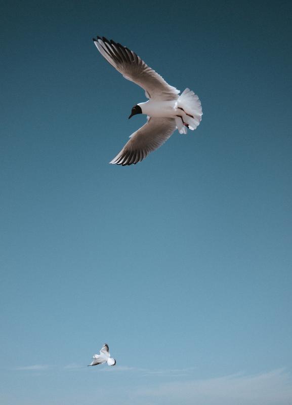 Seagulls I Canvas Print