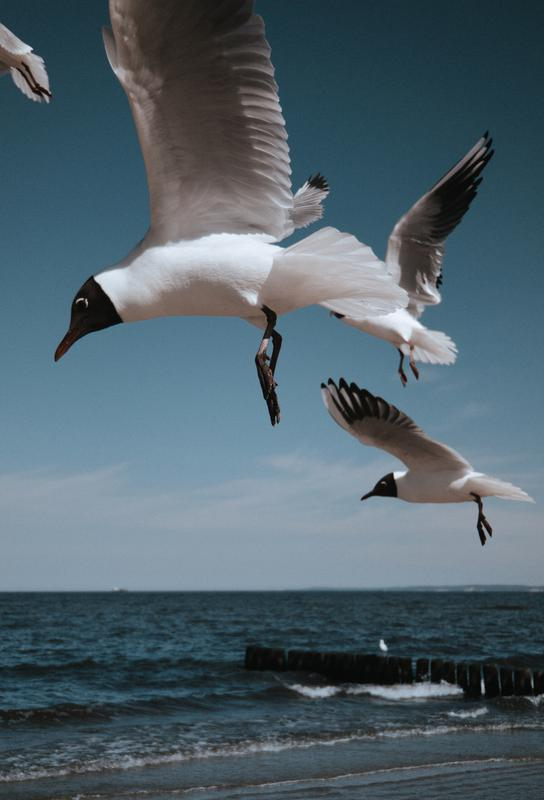 Seagulls VIII alu dibond