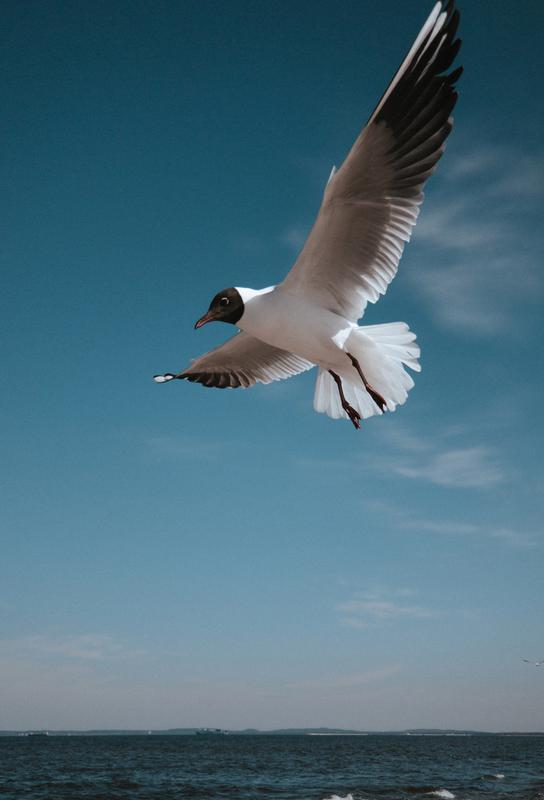 Seagulls IX Acrylic Print