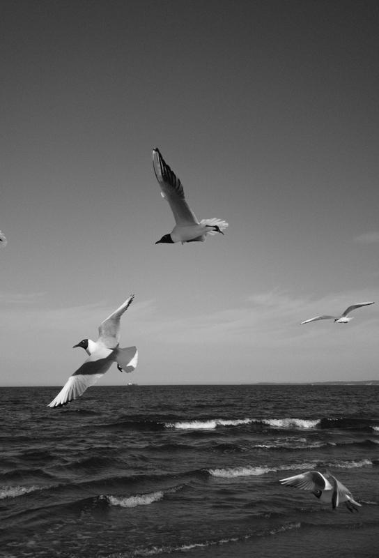 Seagulls III alu dibond