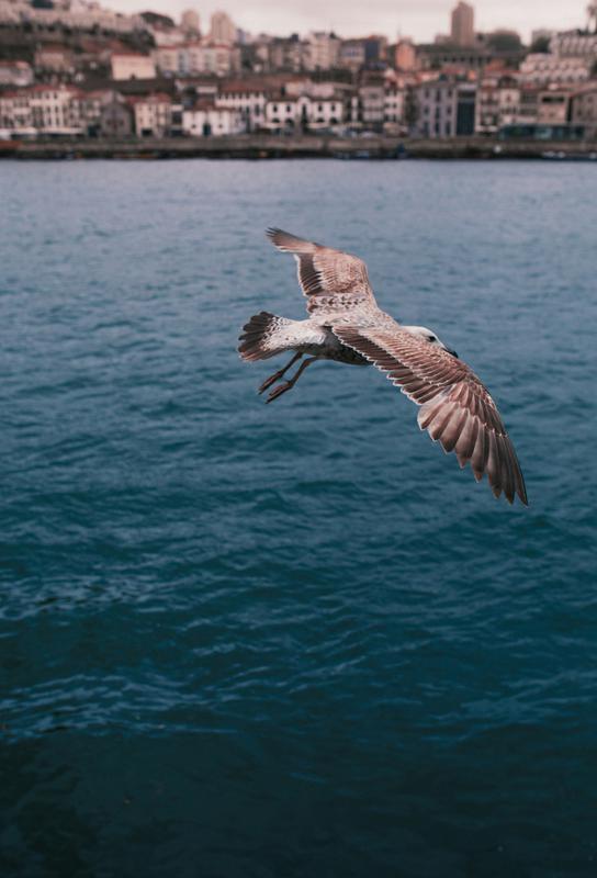 Seagull in Porto Acrylic Print
