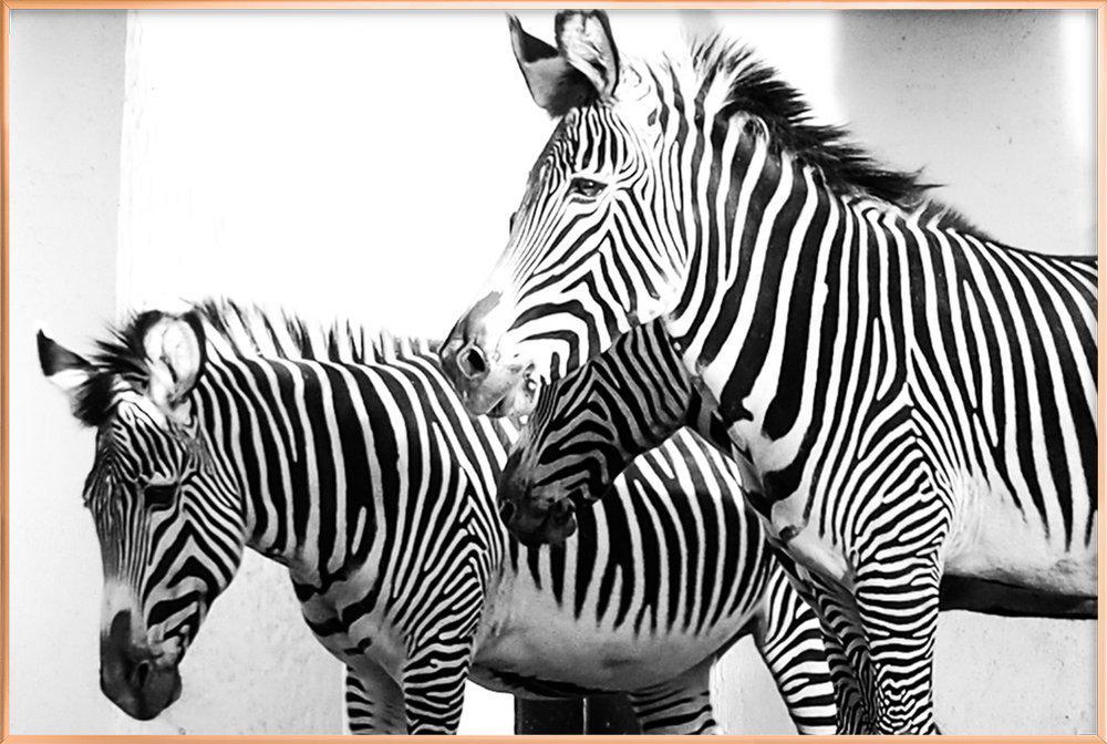 Zebra Stripes -Poster im Alurahmen