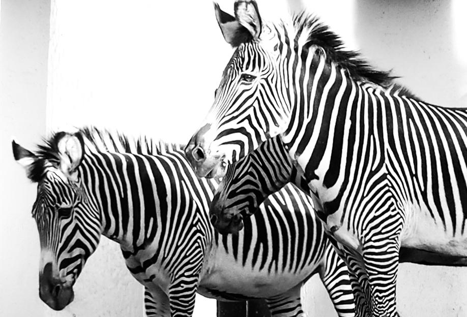 Zebra Stripes -Acrylglasbild