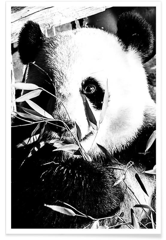 Noir & blanc, Pandas, Hungry Panda affiche
