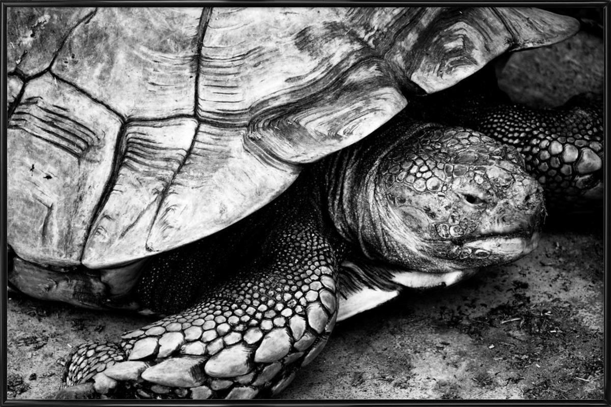 Tim the Turtle affiche encadrée