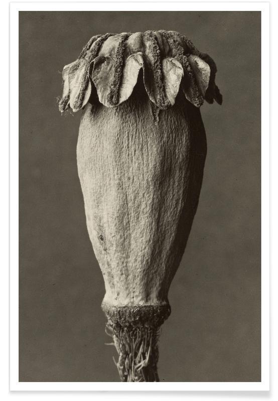 Papaver Orientalis, 1928 - 1932 - Karl Blossfeldt, affiche