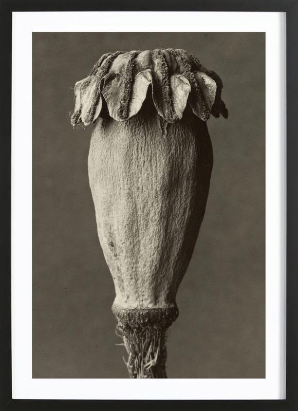 Papaver Orientalis, 1928 - 1932 - Karl Blossfeldt, -Bild mit Holzrahmen
