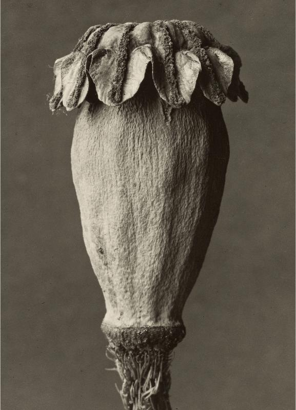 Papaver Orientalis, 1928 - 1932 - Karl Blossfeldt, -Leinwandbild