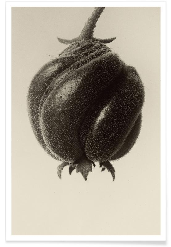 Blumenbachia Hieronymi (Loasaceae) -  Karl Blossfeldt affiche